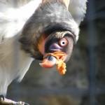 """""""a kuku""""Zdjęcie ciekawskiego Sępa królewskiego, podglądanego w trakcie posiłku, wykonane w Berlińskim Ogrodzie Zoologicznym. Fot. Aleksandra Milczarek"""