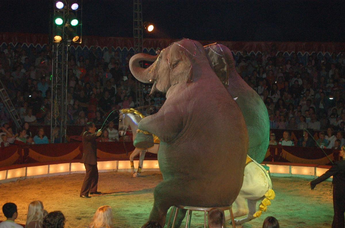 Sitting_elephants_at_cirkus