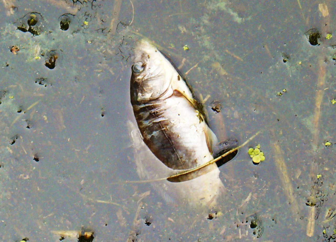 mos810_wg_2014_39_milicz_ponds_slupicki_maly_pond_dead_fish_3